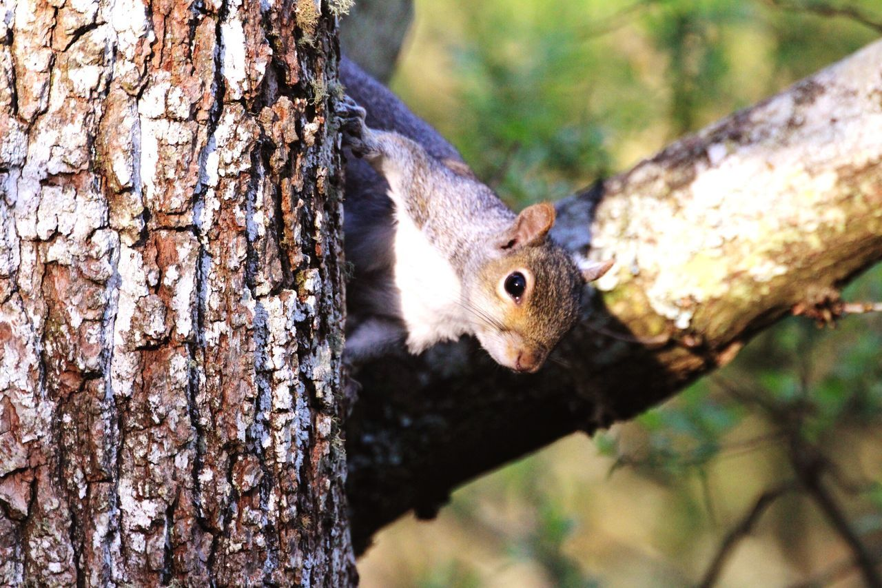 'Peek-a-boo' Tree Trunk One Animal Squirrel Tree Animal Themes Animals In The Wild Rodent Animal Wildlife Woodpecker Day Focus On Foreground No People Nature Outdoors Close-up Mammal Looking At Camera Bird Feeder Bat - Animal