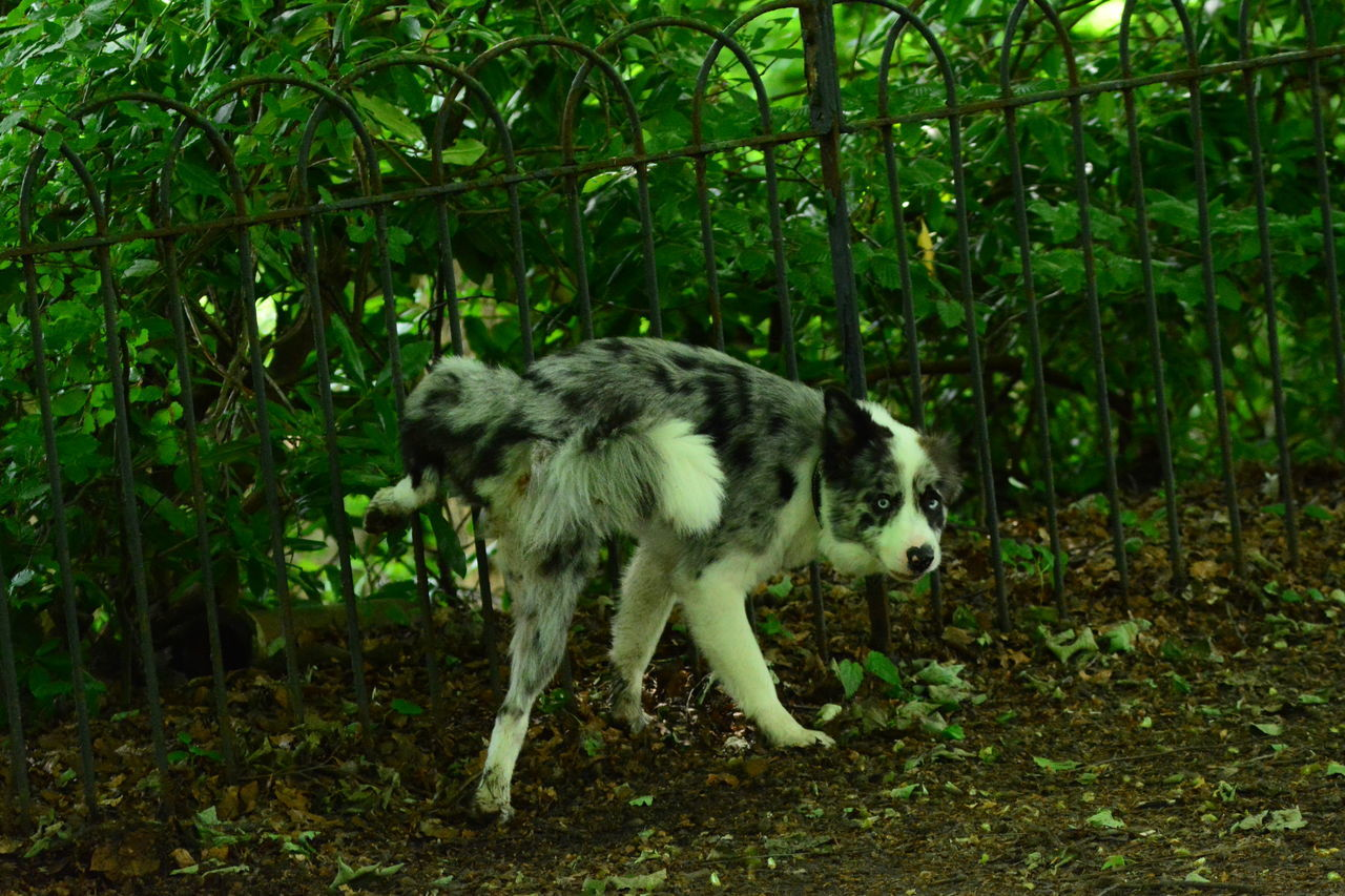 Animal Themes Day Dog Domestic Animals Full Length Great Eyes Growth Mammal Mottled Coat. Nature No People Nofilternoedit One Animal Outdoors Pets Tree Wee Wee Time Wolf