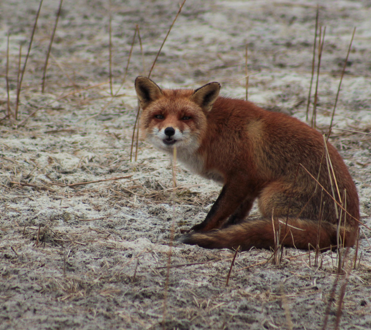 Portrait Of Fox Sitting In Forest
