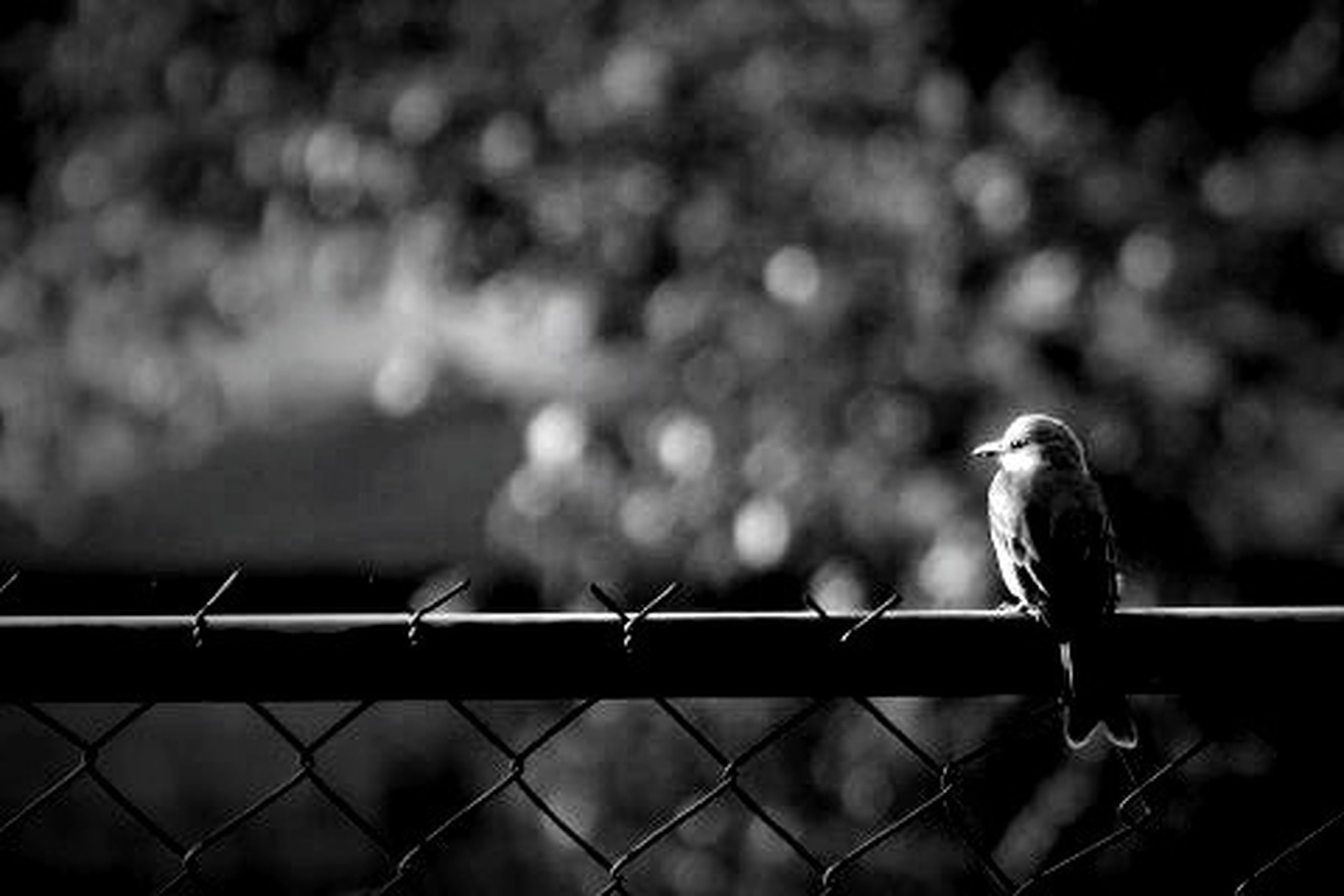 animal themes, bird, animals in the wild, wildlife, perching, one animal, focus on foreground, railing, fence, metal, close-up, full length, two animals, pigeon, outdoors, day, nature, selective focus, side view, no people