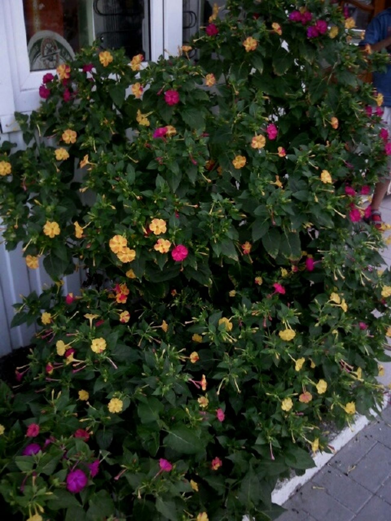 There's no any photo editing. Без фоторедактирования. Мирабилис Ночная красавица июль Mirabilis Flowerets July Belle De Nuit Juillet