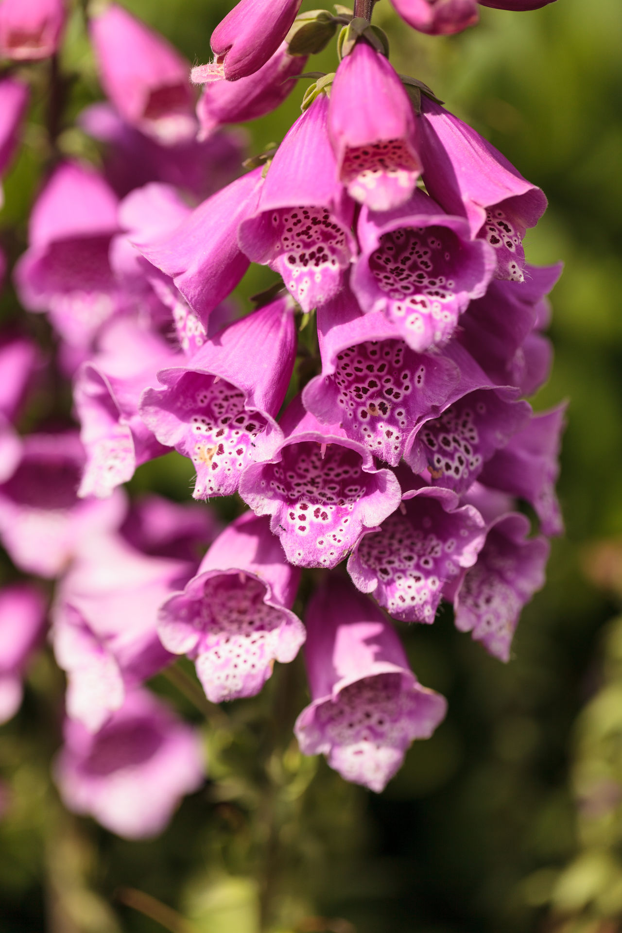 Tall purple, pink, peach and white foxglove flower, Digitalis purpurea, blooms in a botanical garden in spring. Beauty In Nature Close-up Day Digitalis Purpurea Flower Flower Head Flowers Foxglove Garden Nature No People Orchid Outdoors Peach Plant Purple