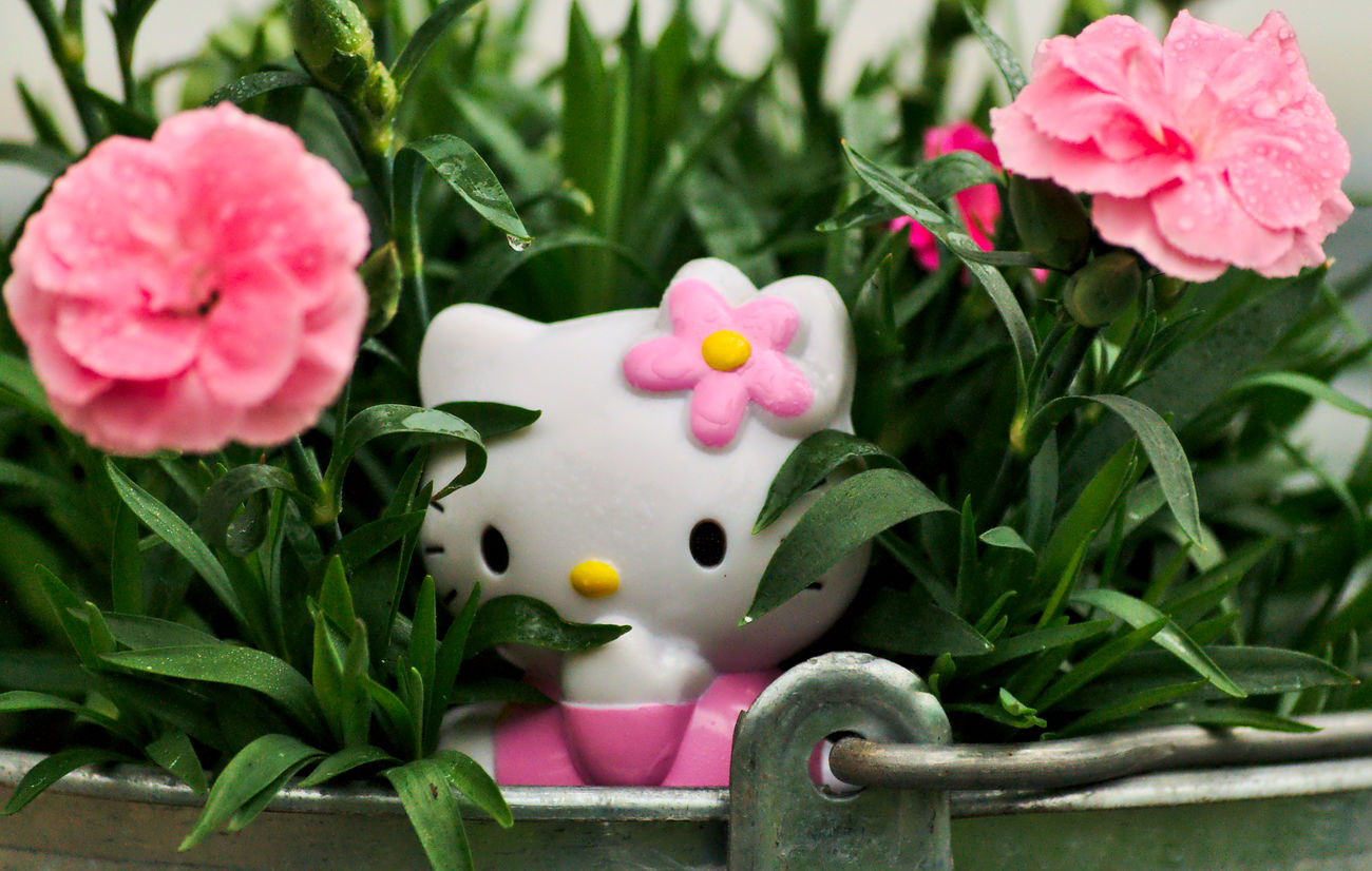 Hello Kitty, the Head Gardener Beauty In Nature Close-up Fantasy Figure Flower Flower Head Flowerporn Focus On Foreground Fragility Freshness Garden Photography Girly Green Color Hello Kitty Leaf Millennial Pink Nature Nikon Outdoors Pink Pink Color Pink Flower Raindrops Toy Adventures ハローキティ
