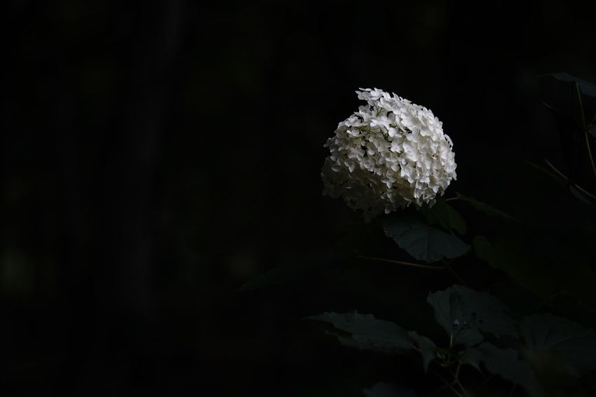 Capture The Moment Black Background Darkness And Light Close-up Hydrangea Flower Beauty In Nature Nature Getting Inspired Depth Of Field Darkness In The Light Selective Focus Fine Art Photography Fragility Snapshots Of Life Outdoors Uzuki Of The Flower No People Full Frame Detail Sony A7RII Oldlens Takumar EyeEm Best Shots 17_08 The Week On EyeEm EyeEmNewHere