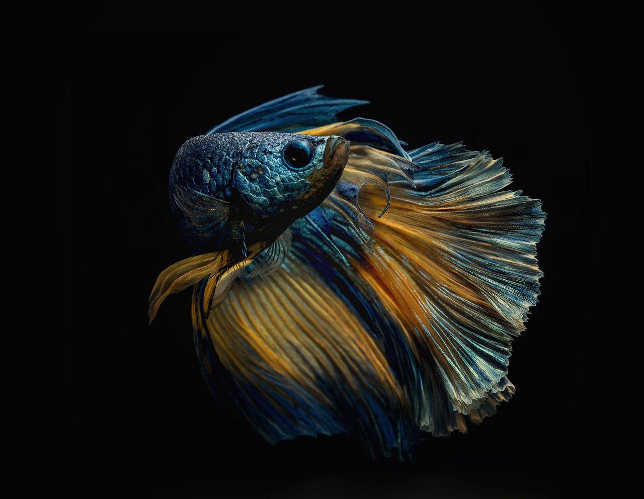black background, one animal, studio shot, animal themes, animal wildlife, no people, bird, animals in the wild, close-up, blue, night, nature, outdoors