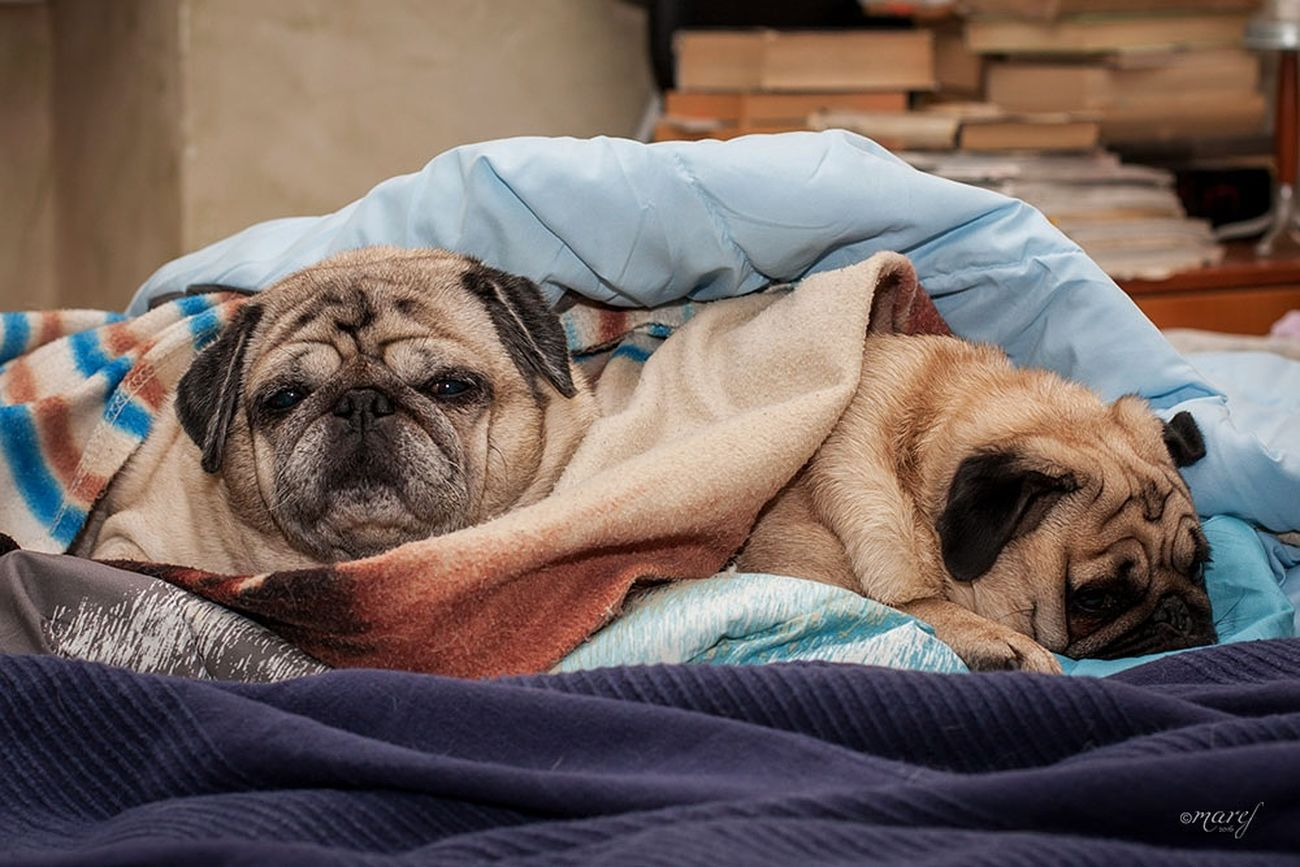 Ulisse and Mathilda Dog Pets Bed Sleeping Domestic Animals No People Bedroom Indoors  Animal Themes Canonphotography Canon_official Tranquility The Week Of Eyeem Pugs EyeEm Gallery Pug Life  Carlino Puglover Pugsofinstagram Pug Puglove  Carlino Cane Dog Pillow Relaxation Indoors