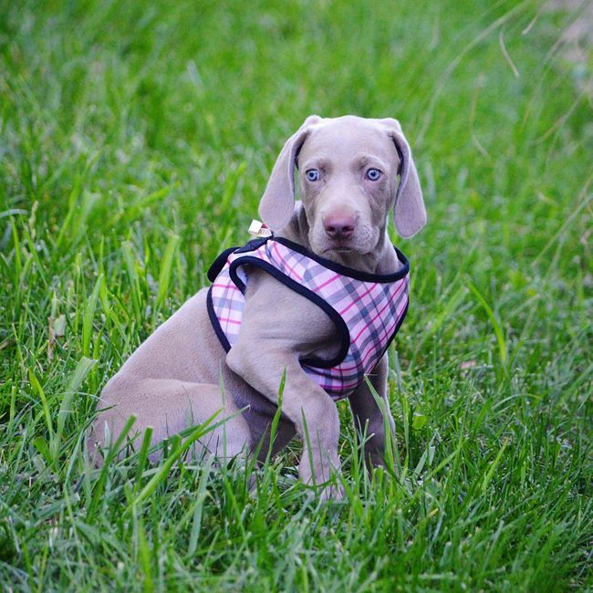 Doggy Love Dog Pets Animal Themes Portrait Ilovemydogs Greyghost Weimaranerlove Blue Eyes Photography Outdoors Weimaranerpuppy The Joys In Life