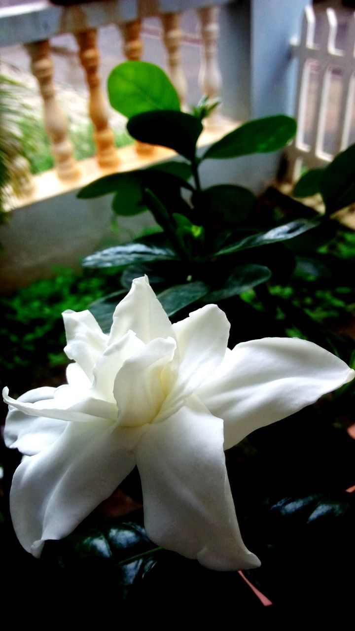 flower, petal, white color, beauty in nature, flower head, growth, fragility, nature, close-up, day, plant, no people, freshness, outdoors, blooming