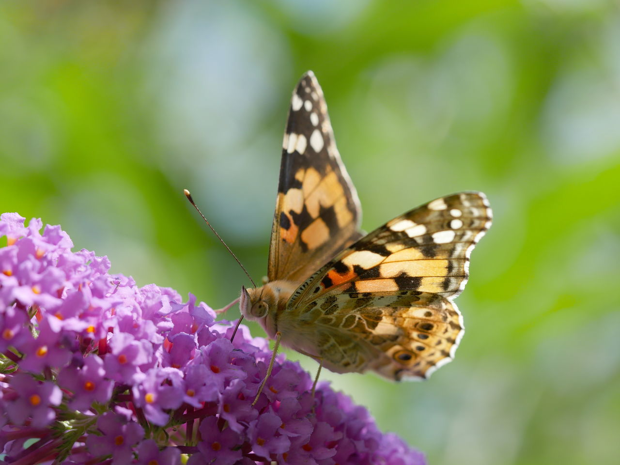 Painted Lady - Distelfalter Beauty In Nature Bokeh Fragility Insect Macro Nature No People Outdoors Painted Lady Pollination Macro Nature Close-up Exceptional Photographs From My Point Of View Animal Themes Distelfalter Capture The Moment EyeEm Nature Lover Animals Animals In The Wild Butterfly Taking Photos Animal Wing