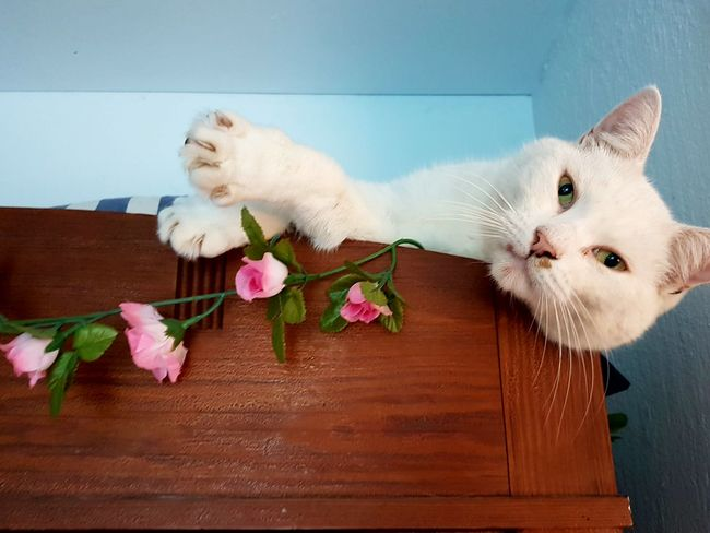 Flower Fragility Pink Color Rose - Flower Freshness Beauty In Nature Nature Petal Looking At Camera Flower Head Blossom In Front Of No People Cat My Cats Blue Athome  Home Taking Photos Taking Pictures
