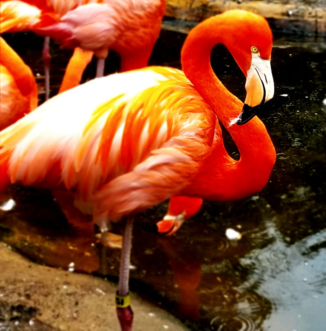 Flamingo Water Flamingo Animal Themes Orange Color Bird Animals In The Wild Outdoors Day Close-up Nature Animal Wildlife Beak No People Pink ZOO-PHOTO Birds Wildlife Zoo Birds🐦⛅ One Leg Flamingo At The Zoo Flamingos Flamingo Beauty Shapes And Lines Zoophotography