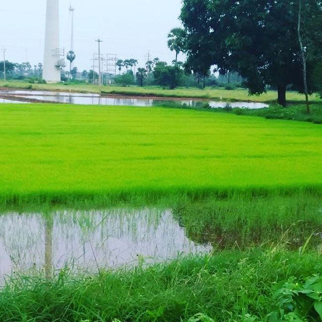Nature Photographyislifee Photography GreenLover Green Cool Naturelovers Naturelover Photogram Instagram Photographylovers LoveNature Lovesnature Love_natura Photooftheday Naturebeauty Greens F4F Tagsforlikes Paddy Grass Land Windmill