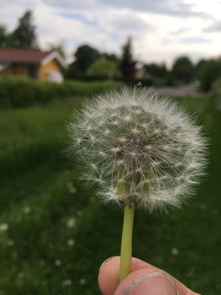 Human Hand Holding Dandelion Focus On Foreground One Person Real People Close-up Human Body Part Human Finger Nature Outdoors Fragility Day Beauty In Nature Seed Plant Flower Freshness Lifestyles Growth