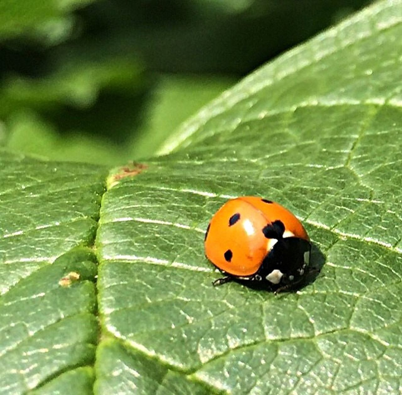 leaf, one animal, insect, animal themes, animals in the wild, green color, close-up, no people, day, nature, outdoors, beauty in nature, ladybug, fragility