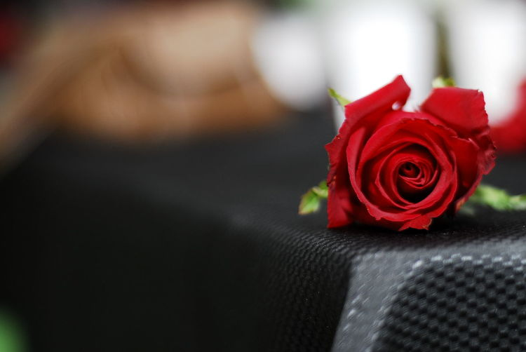 Red rose for valentines day Celebration Red Flower Rose - Flower Close-up Holiday - Event Nature
