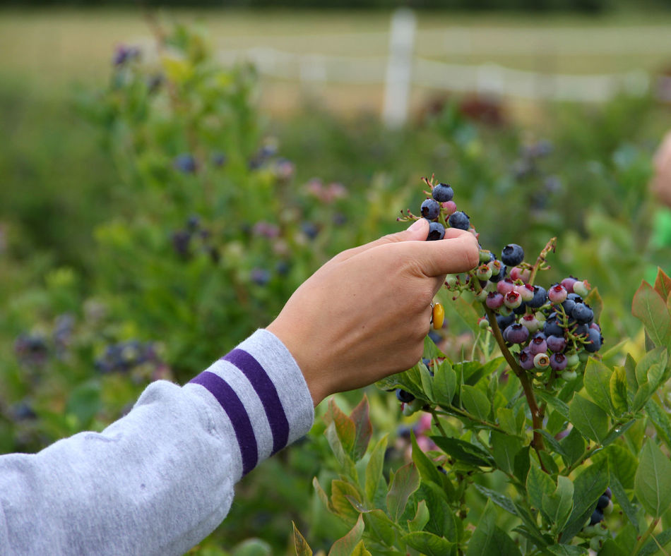 Blueberries Blueberry Close-up Farm Farm Life Focus On Foreground Green Color Growth Hand Holding Human Finger Leisure Activity Nature Organic Food Organic Foods Picking Berries Plant