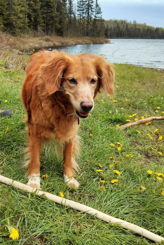 Animal Themes Brown Day Dog Domestic Animals Grass Happy Dog Mammal Nature No People Nova Scotia Duck Tolling Retriever One Animal Outdoors Pets Spring Springtime Tree Water