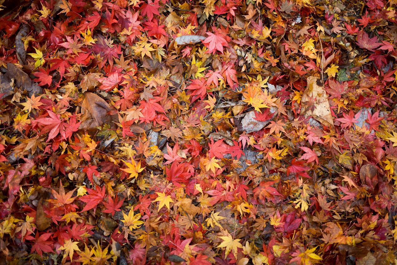 Backgrounds Full Frame Autumn Multi Colored No People Leaf Nature Maple Leaf Beauty In Nature Nature Autumn Peace Nikon D750 Calm Peaceful Nikon Korea Fall Season Fallen Tree Peace And Quiet Close-up