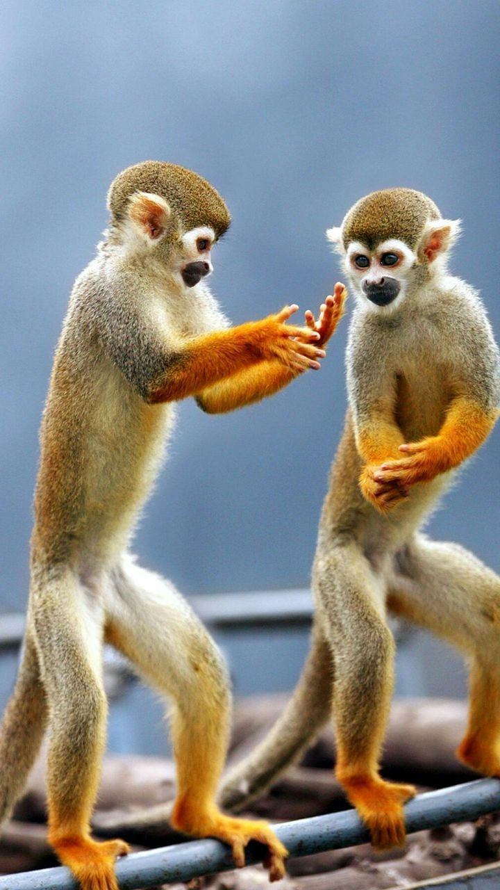 two animals, animal themes, no people, mammal, animals in the wild, togetherness, day, monkey, nature, outdoors, close-up