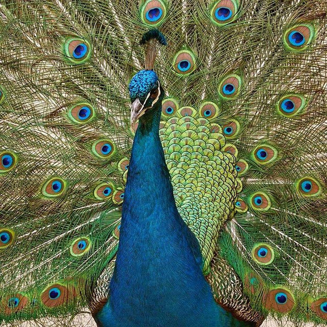 This Peacock at Blackbutt was hypnotic Blackbuttreserve Blackbuttreservepark Nature Birds Newy Newyisok Igersnewy Newcastlensw Mynewcastle Newcastlelife Newcastlelifestyle Visitnewcastle