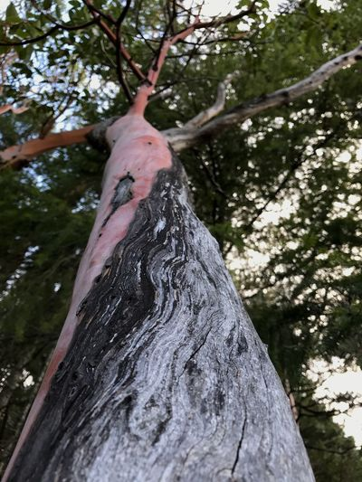 Tree Tree Trunk Nature Bark Arbutus Outdoors WestCoast Focus On Foreground Beauty In Nature Treelove