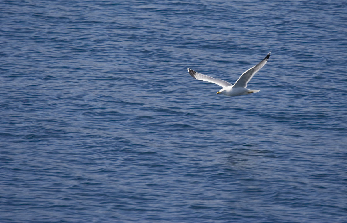 flying seagull - over the mediterranean sea Animal Wildlife Animals In The Wild Beauty In Nature Bird Copy Space Flight Flying Gull Herring Gull High Angle View Laridae Laus Argentatus Mediterranean Sea Nature No People One Animal Pest Sea Sea-gull Seagull Spread Wings Water Waterfowl Waterfront White