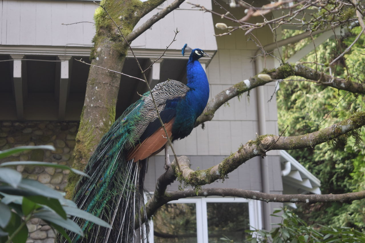 Beautiful stock photos of peacock,  Animal Themes,  Animals In The Wild,  Beauty In Nature,  Bird