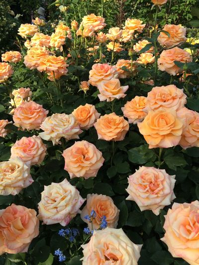 Golden Oldie English Rose GBR 2001 Naturephotography Rose🌹 What An Awesome Flowers Garden MyGallery Nature Flower Happytimes Nature_collection Beauty In Nature Flowers,Plants & Garden Flower Collection