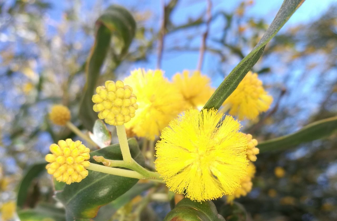 Flower Yellow Fragility Nature Growth Beauty In Nature Freshness Close-up Petal No People Springtime Focus On Foreground Flower Head Outdoors Blooming Blossom Branch Plant Day Tree Acacia Tree EyeEm Nature Lover