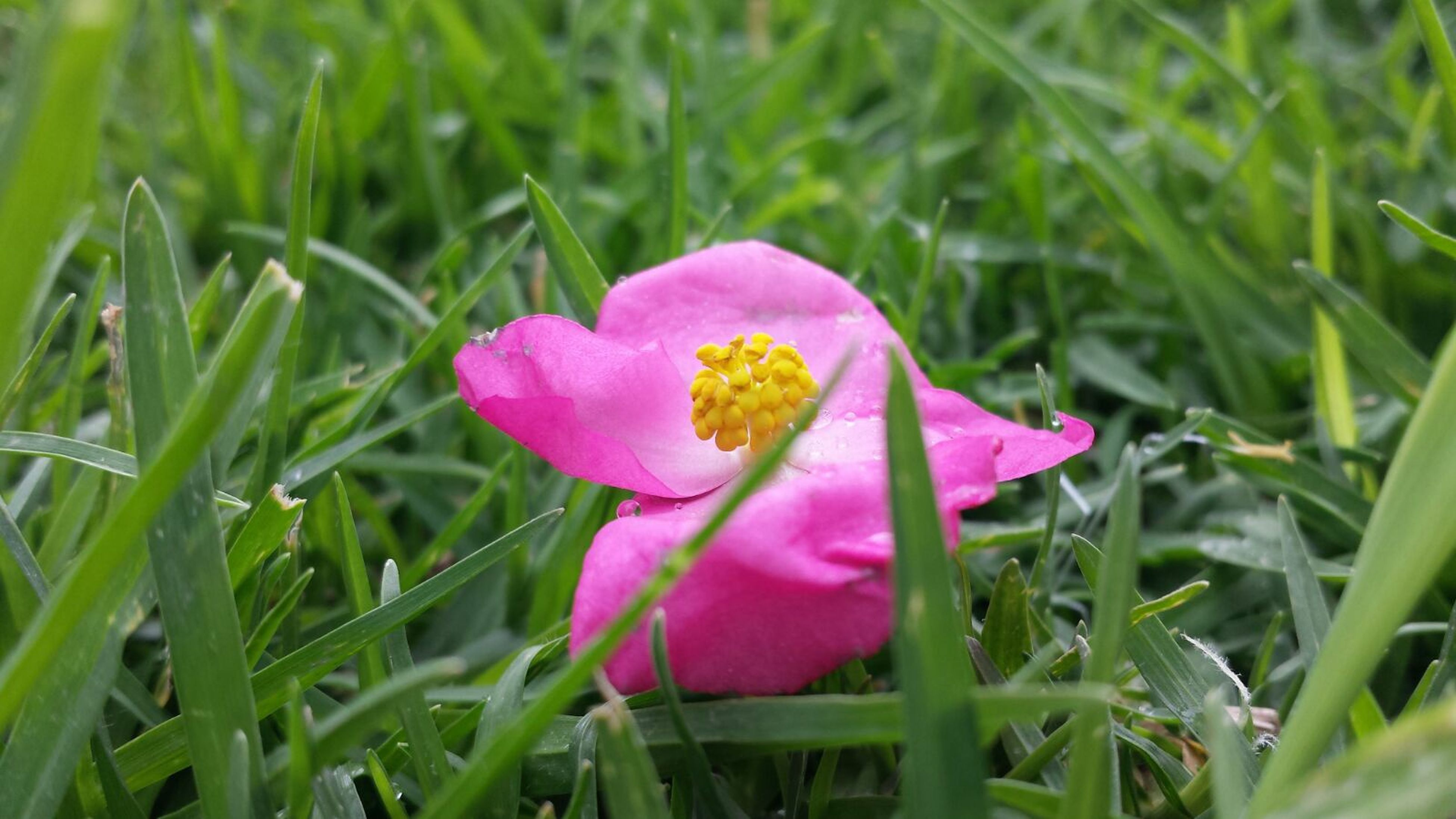 flower, freshness, petal, fragility, flower head, pink color, growth, single flower, beauty in nature, blooming, plant, nature, close-up, field, focus on foreground, grass, green color, pink, in bloom, purple