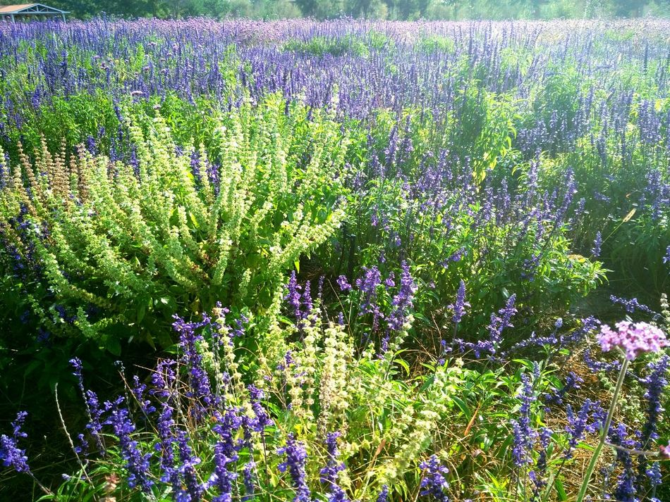 Lavender Garden Purple And Green Very Beautiful Pertect Masterpiece From God