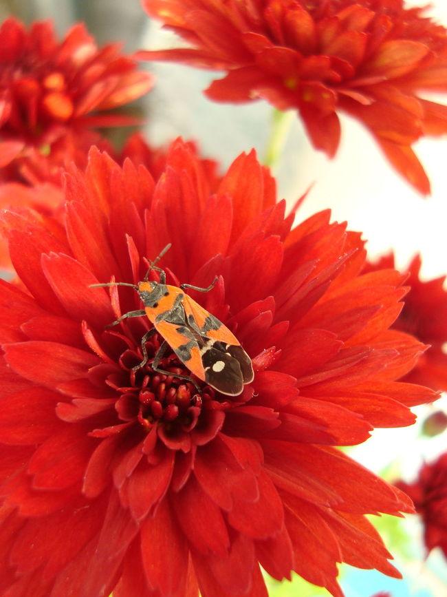 Blooming Botany Bug On A Flower Chrysanthemum Close-up Flower Head Petal Red Flower