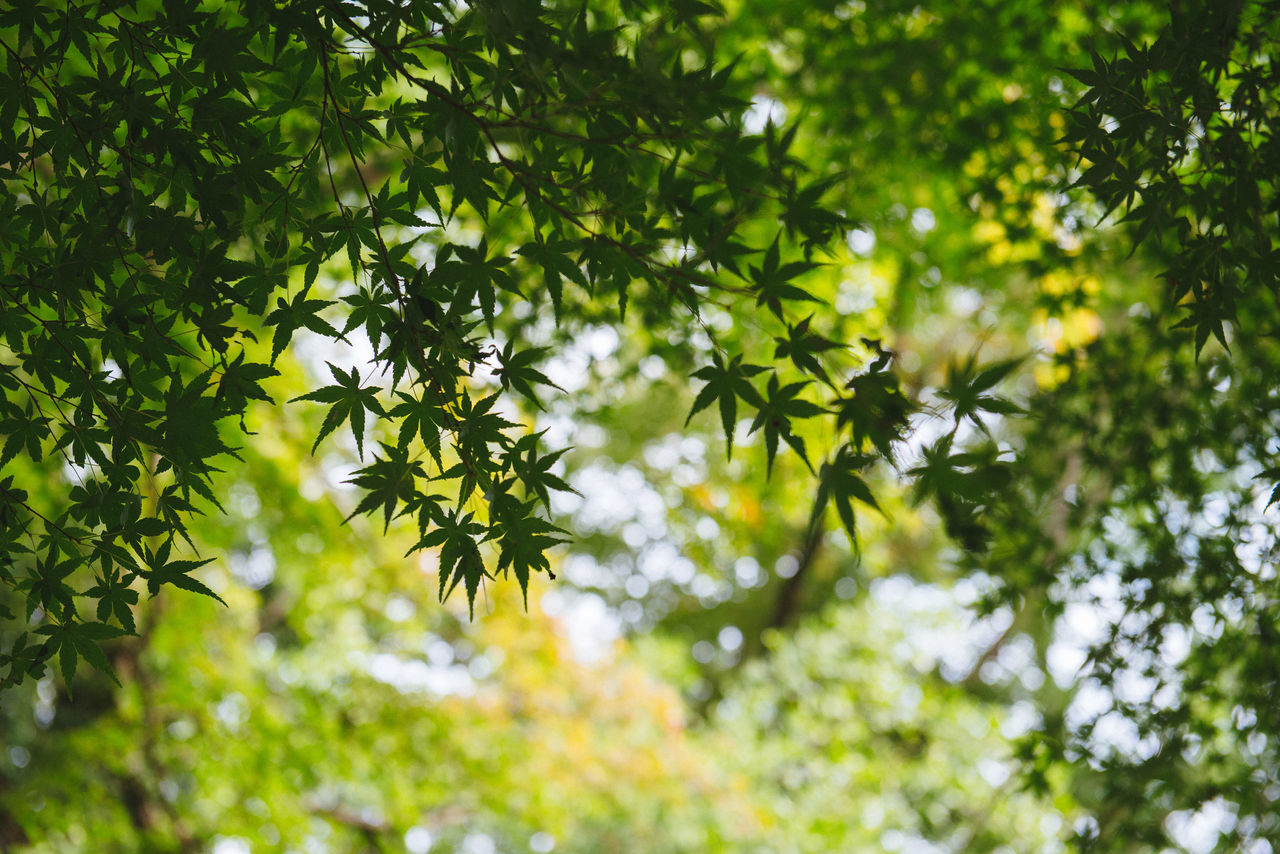 Natural senses Backgrounds Beauty In Nature Branch Close-up Day Freshness Green Color Growth Leaf Low Angle View Nature No People Outdoors Tree