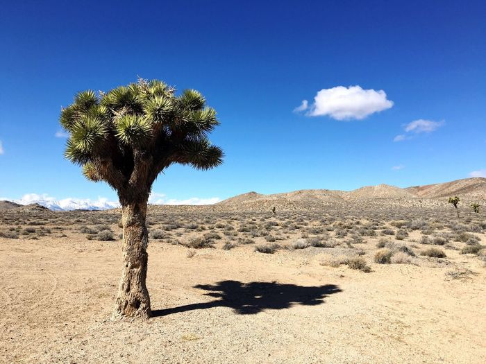 Joshua Tree Yucca Desert Arid Climate Blue Nature Tranquil Scene Tranquility Beauty In Nature Landscape Non-urban Scene Physical Geography Remote No People Geology Day Idyllic Sunlight Outdoors Sand Sky Roadtrip IPhoneography Iphonephotography