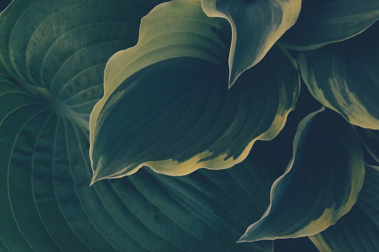 Leaf Hosta Nature No People Fragility Plant Growth Close-up Full Frame Beauty In Nature Backgrounds Green Color Outdoors The Great Outdoors - 2017 EyeEm Awards Eye4photography  Eyeemphotography Taking Photos EyeEm Gallery BYOPaper!