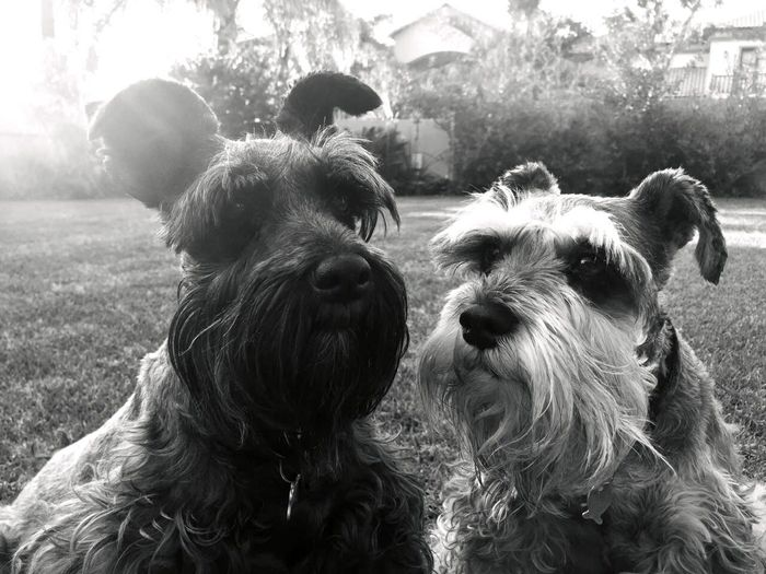 Partners in crime of loveableness😍 Cuteness Schnauzer Lovelovelove Friendship. ♡   Petstagram Puppy Love Cute Pets Bestfriends Love