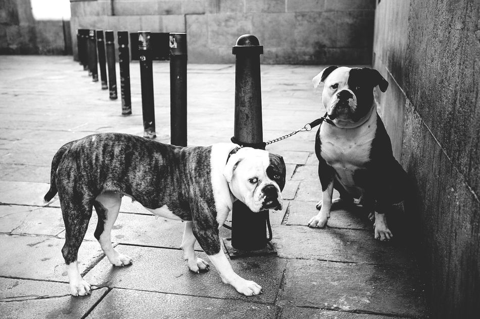 Beautiful stock photos of american bulldog, American Bulldog, Animal Themes, Bollard, Bulldog