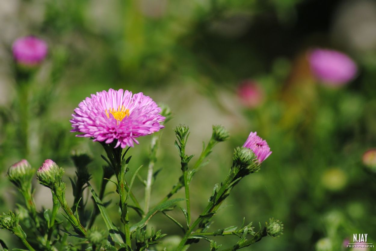 Aster Chrysanthemum Flower Flowerporn Pink Flower Blossom Pink Blossom Plant In Bloom Nature Botany EyeEm Nature Lover Eye4photography  Streamzoofamily EyeEm Masterclass No Edit/no Filter Summertime Pink Garden Beauty In Nature Close-up Blooming Plant Petal Freshness