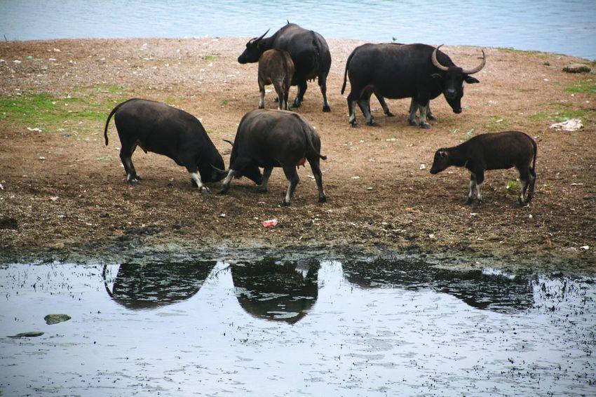 Carabao Carabaos Colour Of Life Wild Life Animals Eyeem Philippines