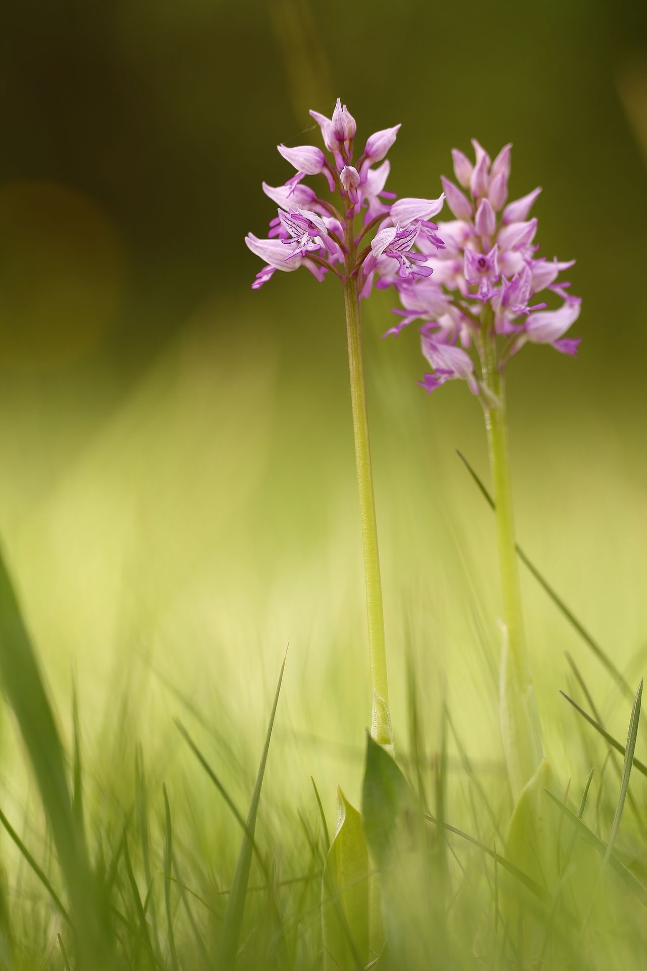 Orchis militaris Beauty In Nature Blooming Close-up Day Field Flower Flower Head Fragility Freshness Grass Growth Nature No People Outdoors Plant