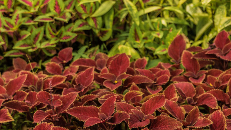 Green And Red Garden Plant Beauty In Nature Fragility Freshness Garden Green And Red Green And Red Leaves Growth Leaf Leaves Nature No People Outdoors Plant Red