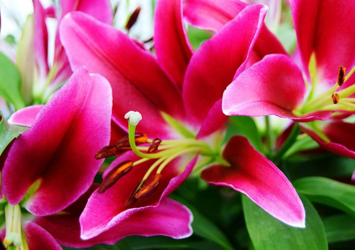 Lily Flower Petal Nature Plant Flower Head Beauty In Nature Close-up Pink Color Lily Lily Flower Lily Flowers Lily Style Lilys Lily @rt Pinkflower Pink! Naturelovers Beauty Natural Beauty Beauty In Nature Plant Nature EyeEmNewHere