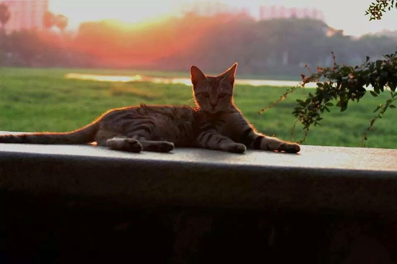 domestic cat, looking at camera, portrait, pets, lying down, day, domestic animals, animal themes, outdoors, relaxation, feline, one animal, no people, nature, sky, mammal, close-up
