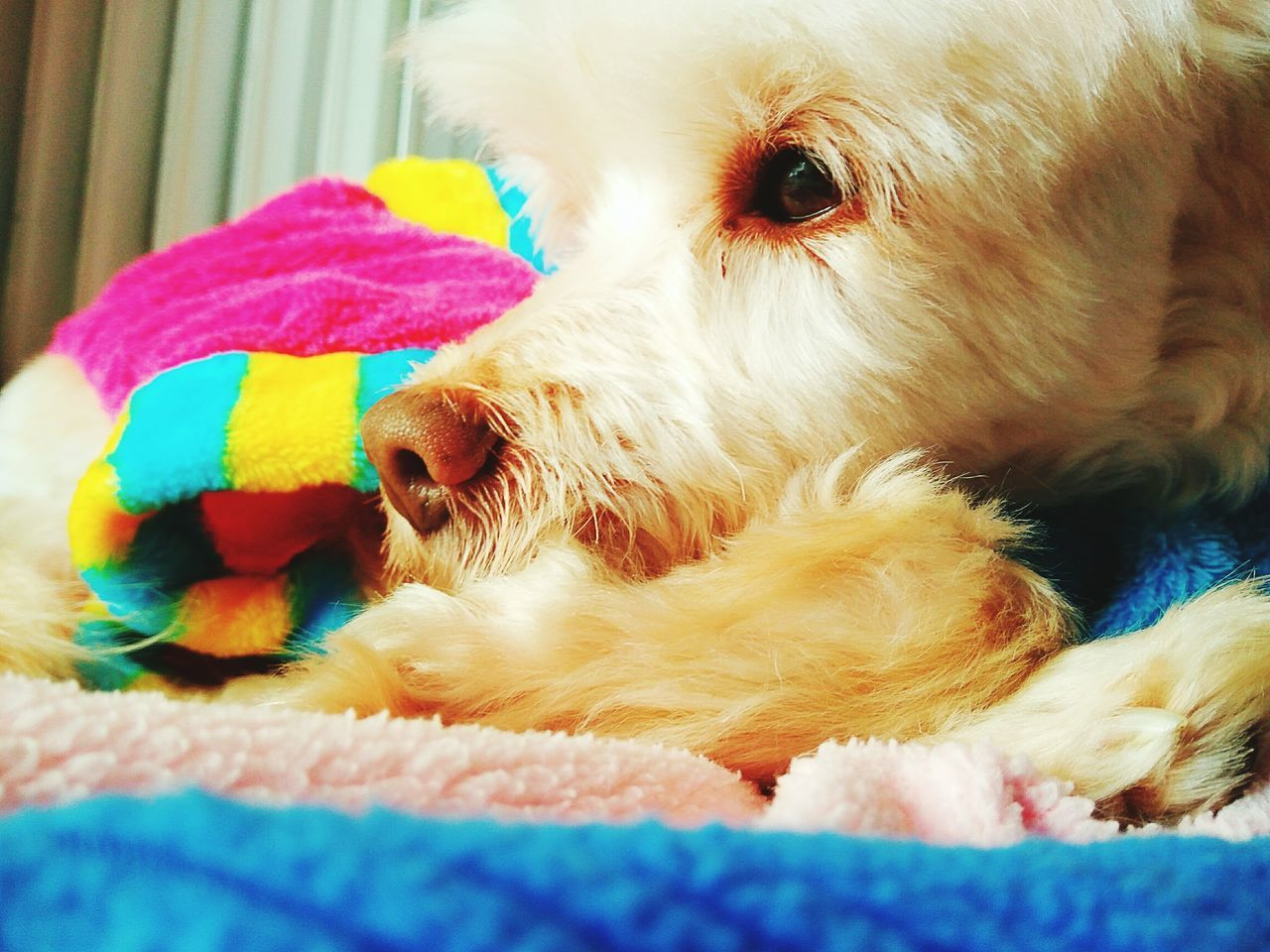 Thinking About Her Dogs Of EyeEm Dog We Love Dogs Dogs Animal Animal Themes Domestic Animals Domestic Dog Smartphonephotography Close-up Dog Eye Colorful Life Dogslife Dog Fashion Fashion Protect Animals Domestic Dogs Lifestyles Domestic Life Indoors  Animals Pets Smartphone Photography Indoors