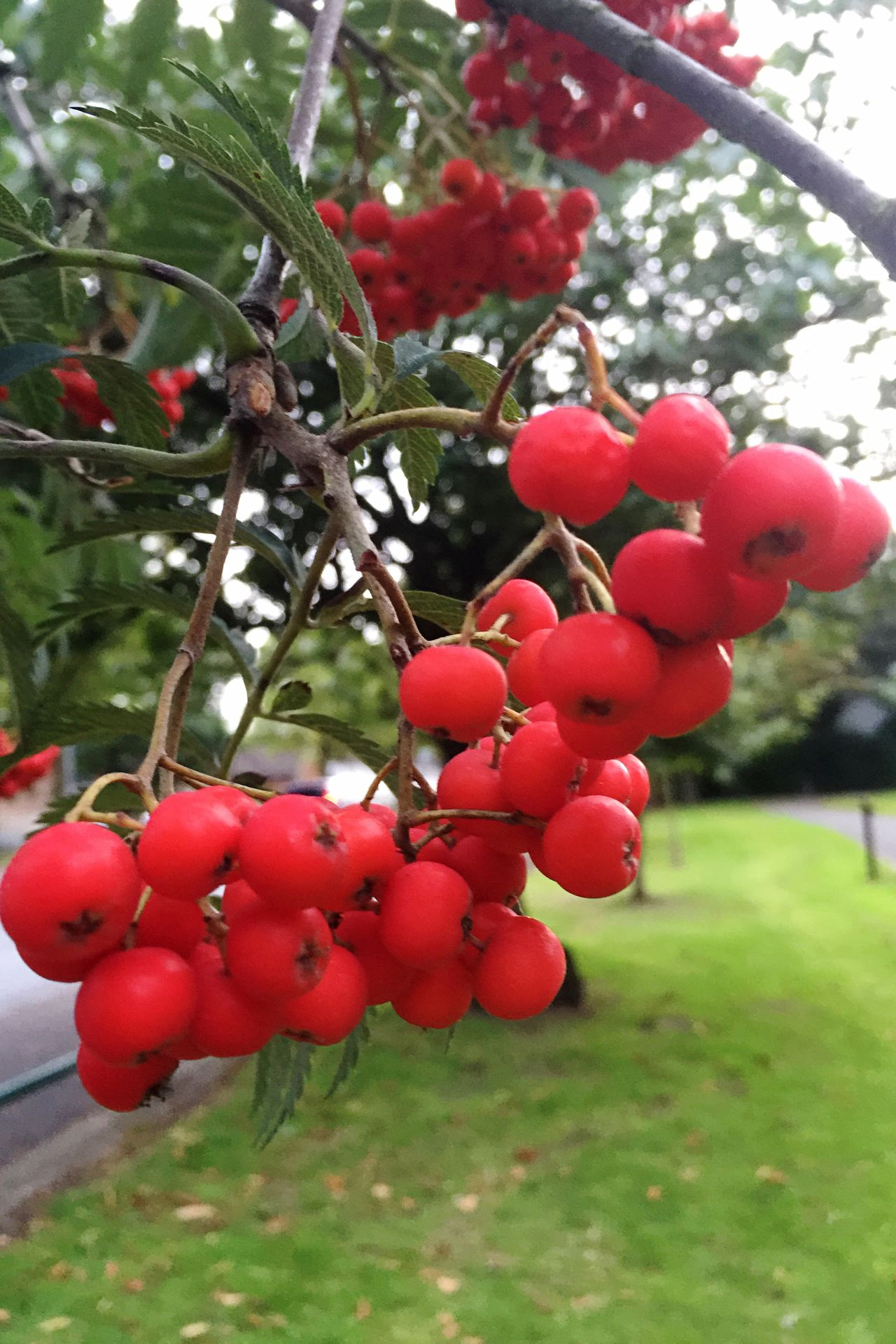 Red Fruit like Berries Close-up Selective Focus Hanging Focus On Foreground Vibrant Color Nature IPhoneography Iphonephotography
