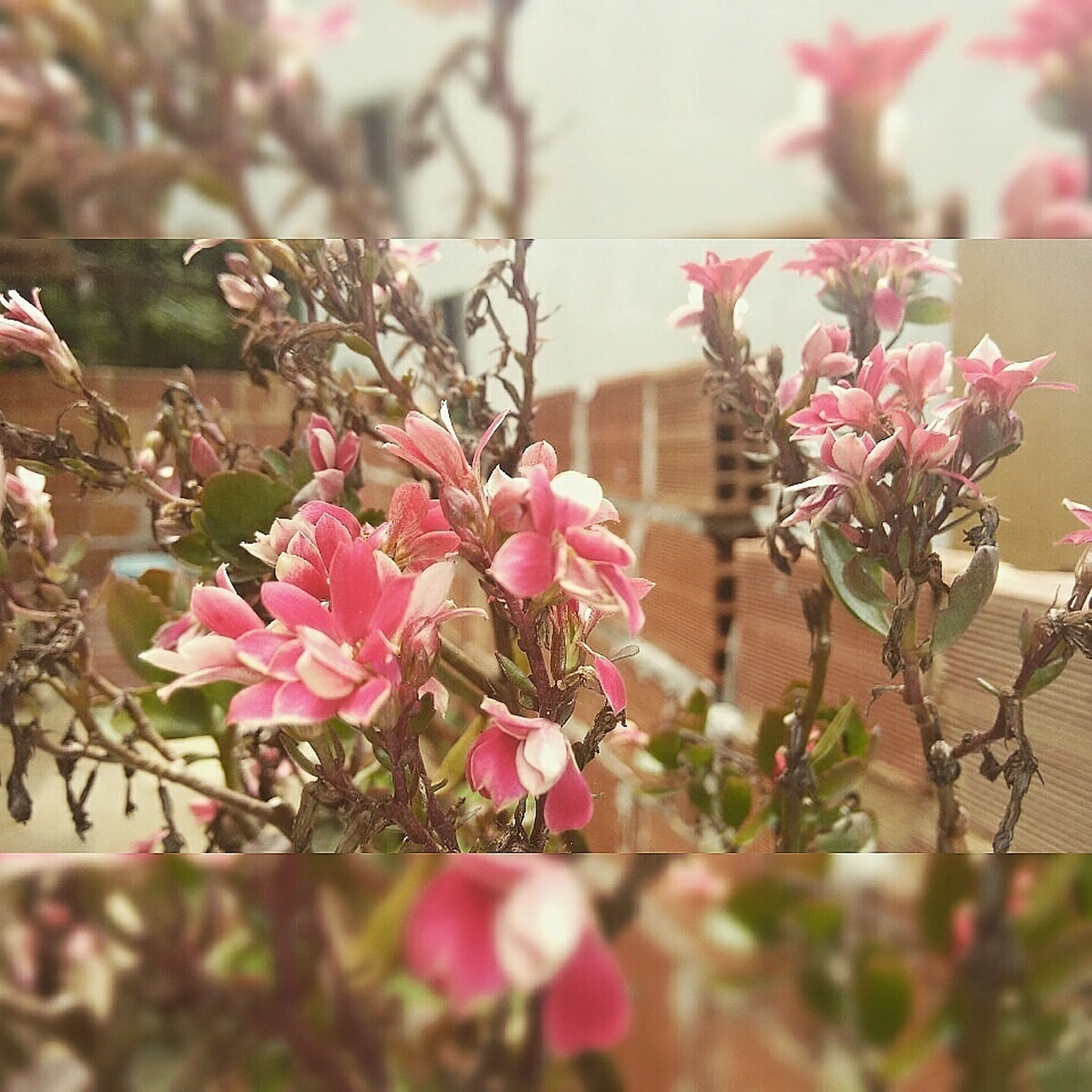 flower, freshness, fragility, growth, petal, pink color, beauty in nature, nature, focus on foreground, blooming, plant, close-up, blossom, in bloom, flower head, branch, stem, day, selective focus, leaf