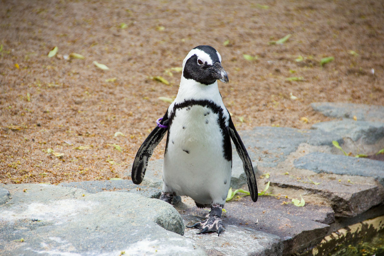Beautiful stock photos of pinguin, African Penguin, Animal Themes, Animal Wildlife, Animals In The Wild