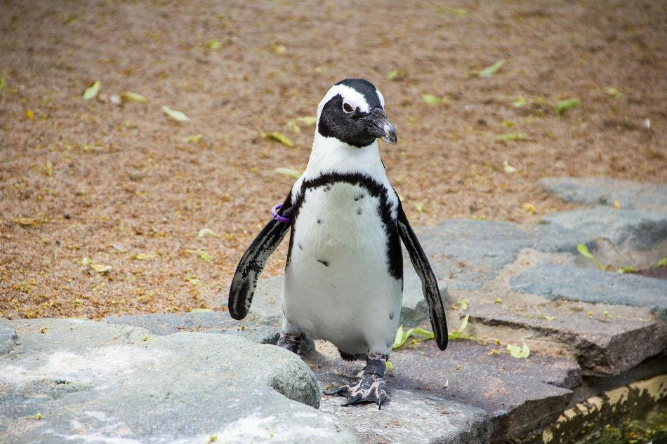 Beautiful stock photos of pinguin, African Penguin, Animal Themes, Animal Wildlife, Animals In The Wild
