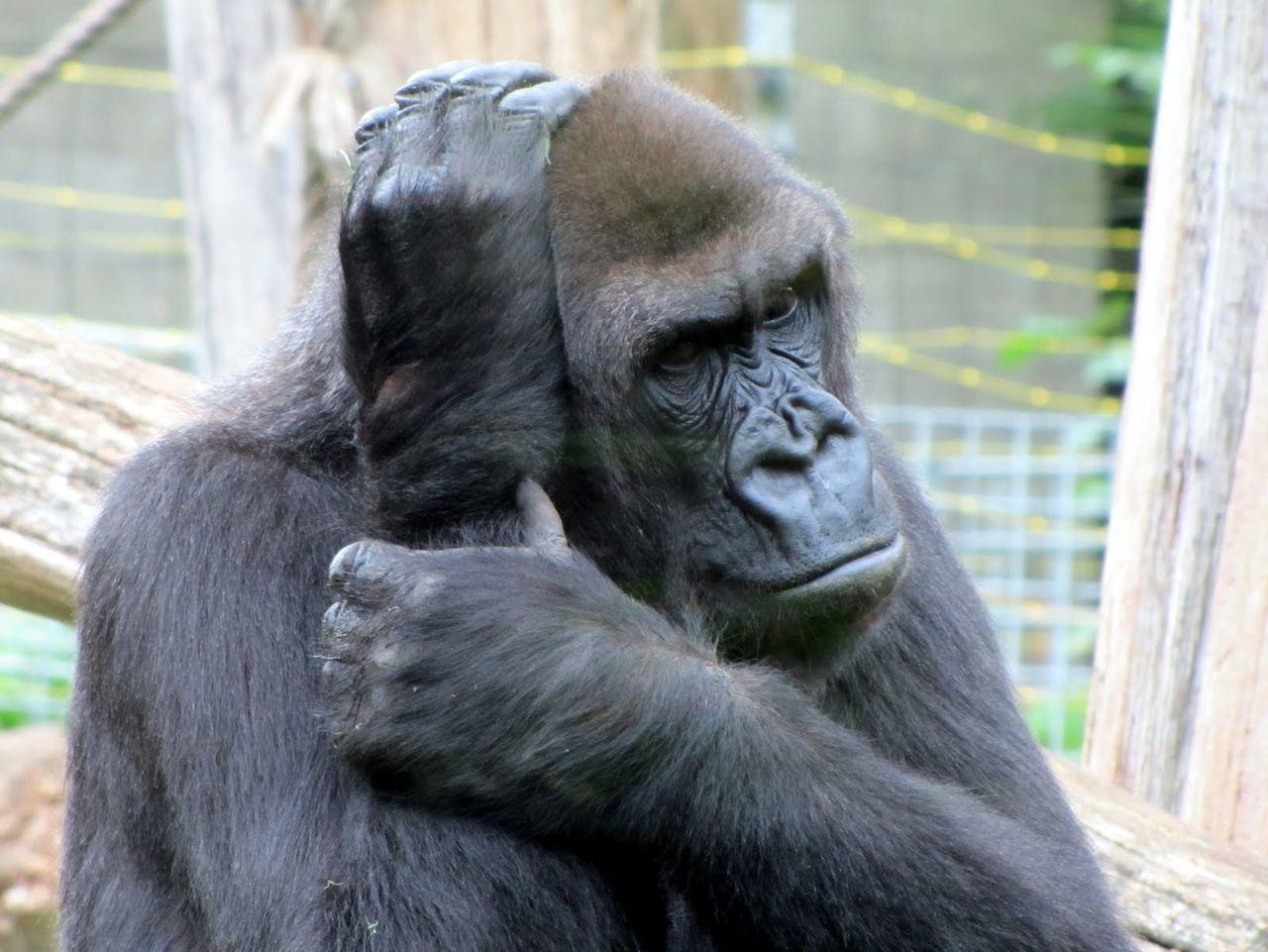 Animal Themes Animal Wildlife Animals In The Wild Ape Chimpanzee Close-up Day Gorilla Mammal Monkey Nature No People One Animal Orangutan Outdoors Primate Zoo