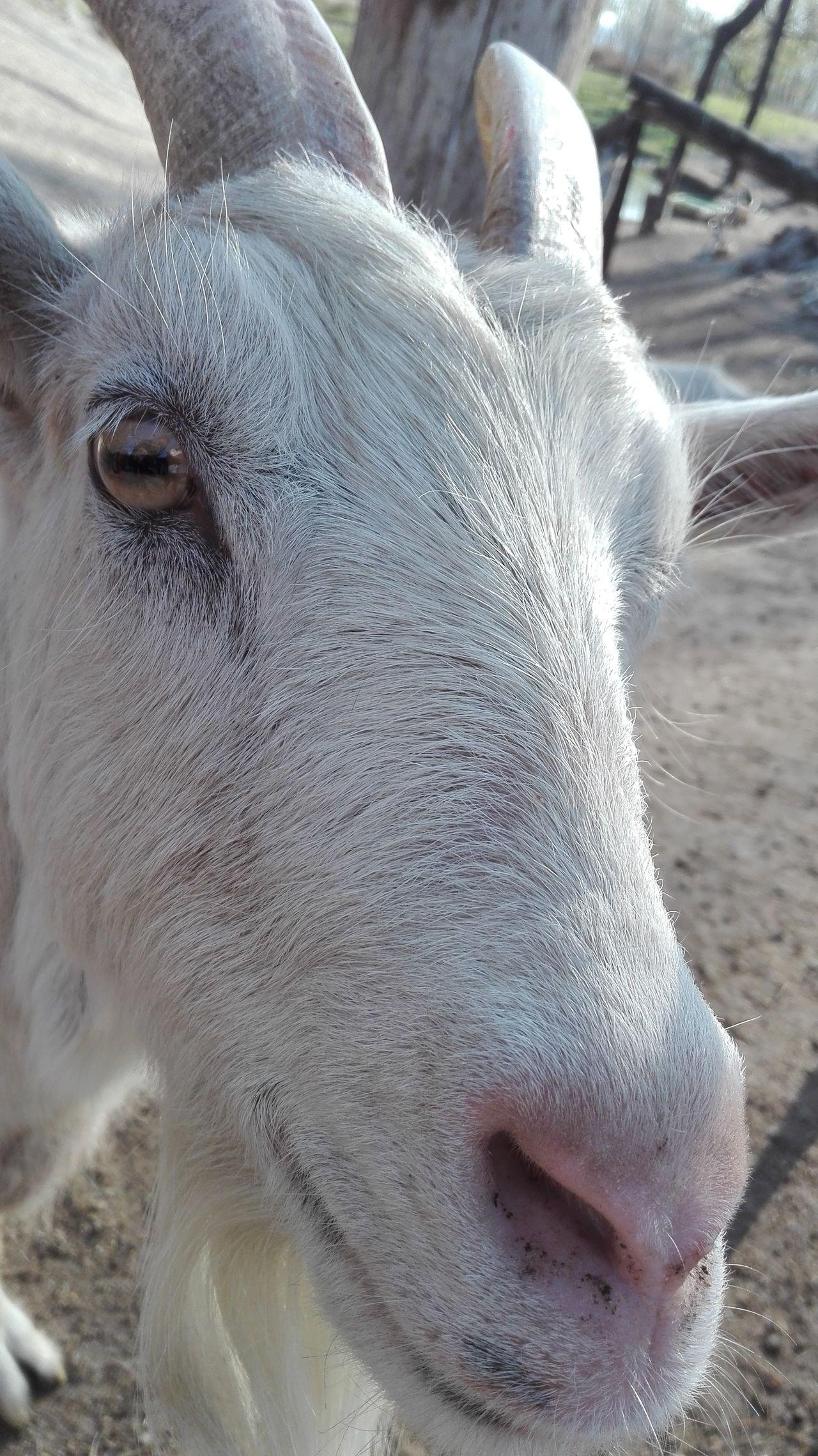 Goat Goatfarm Goat Farm Goat Head Goathead White Goat
